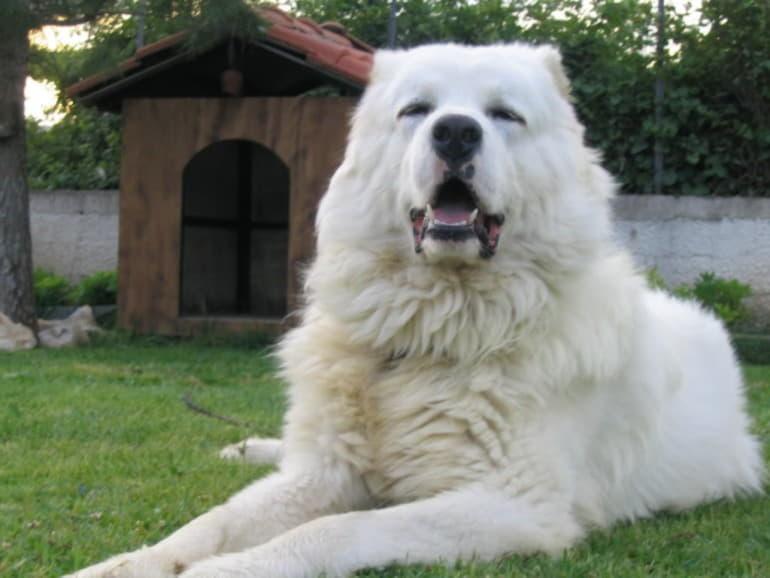 Белая кавказская овчарка