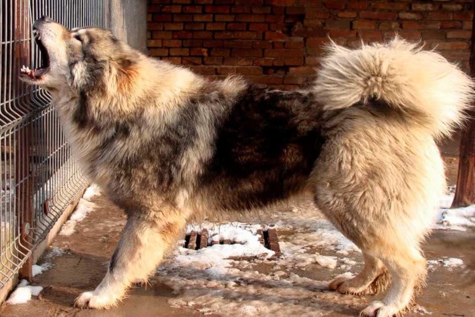 Характер кавказской овчарки