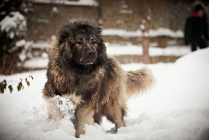 Кавказская овчарка бежит по снегу