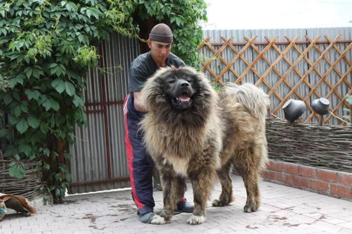 Содержания кавказской овчарки