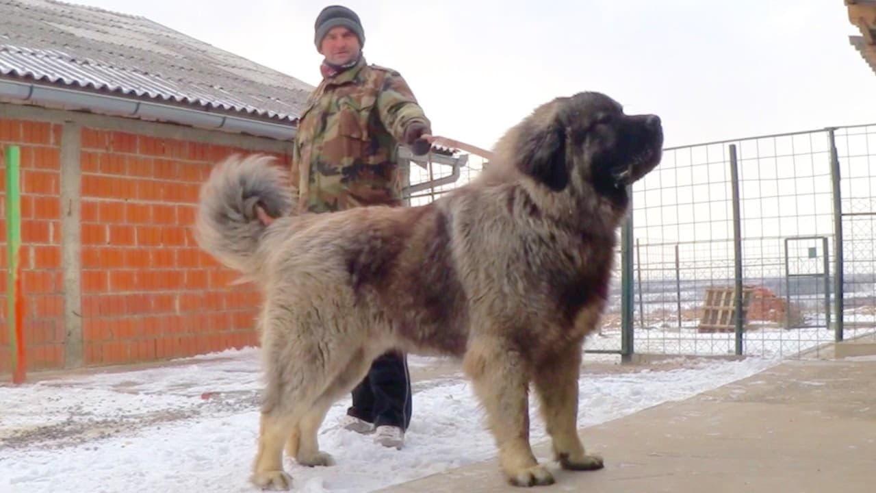 Содержания кавказских овчарок