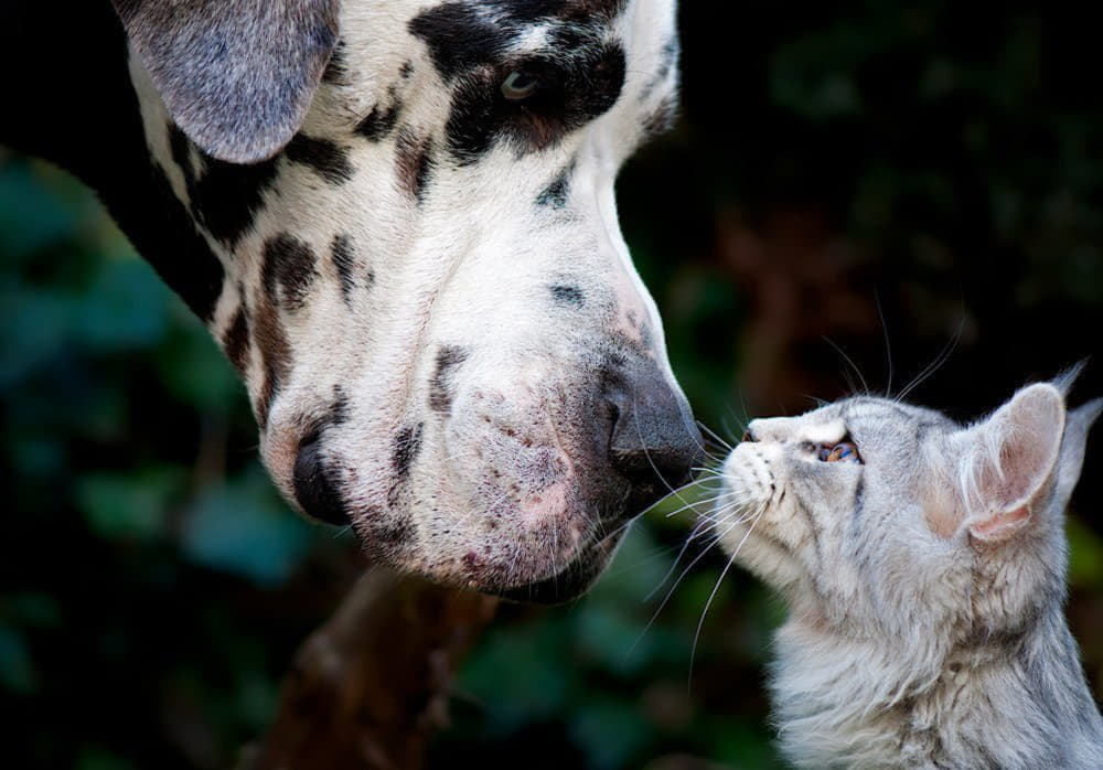Немецкий дог и кошка
