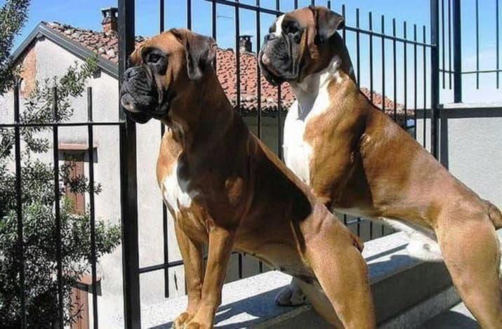 Два немецких боксера
