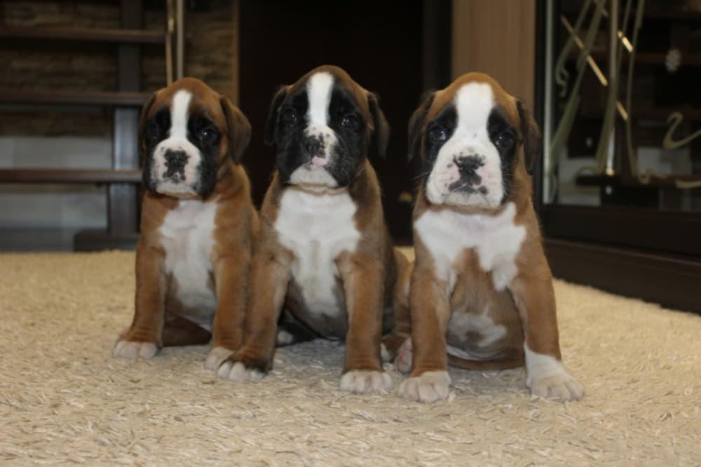 Три щенка немецкого боксера