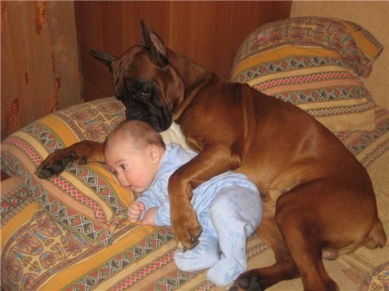 Немецкий боксер с младенцем