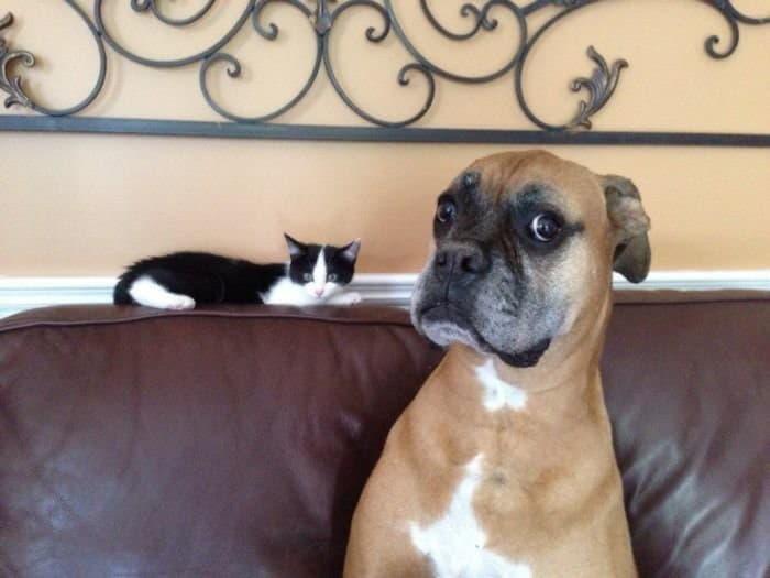 Немецкий боксер и кошка