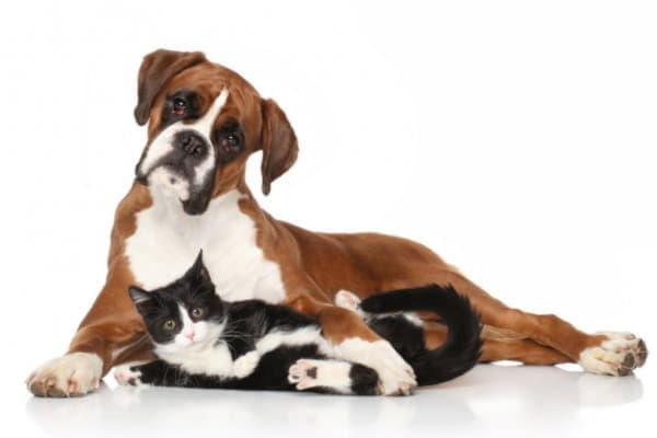 Немецкий боксер с кошкой