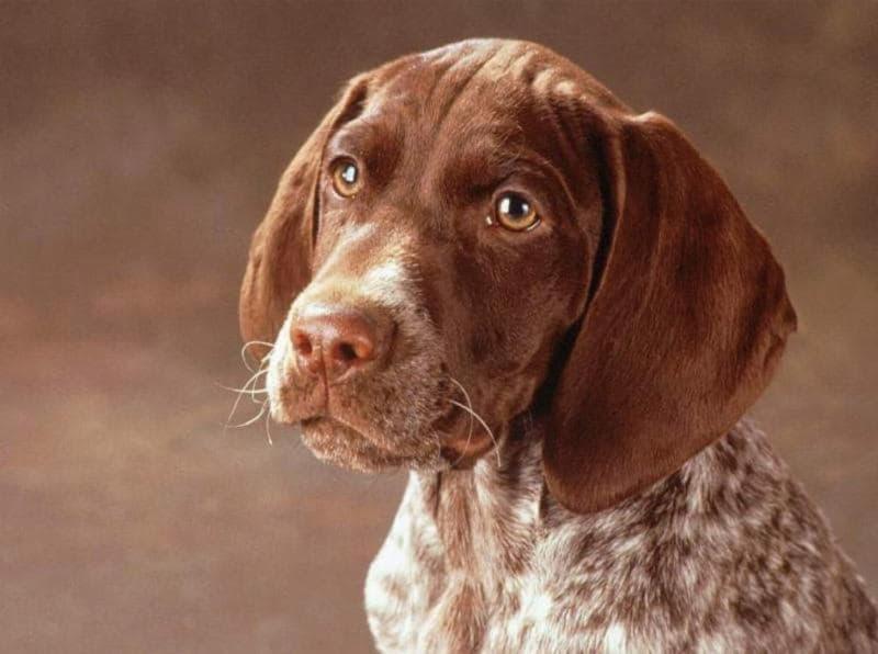 Собака породы немецкий курцхаар