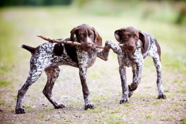 Собаки породы курцхаар