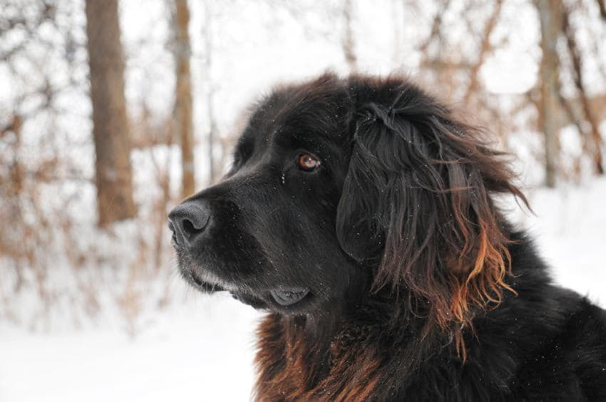 Морда собаки Ньюфаундленд