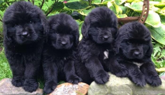 Щенки собаки водолаз