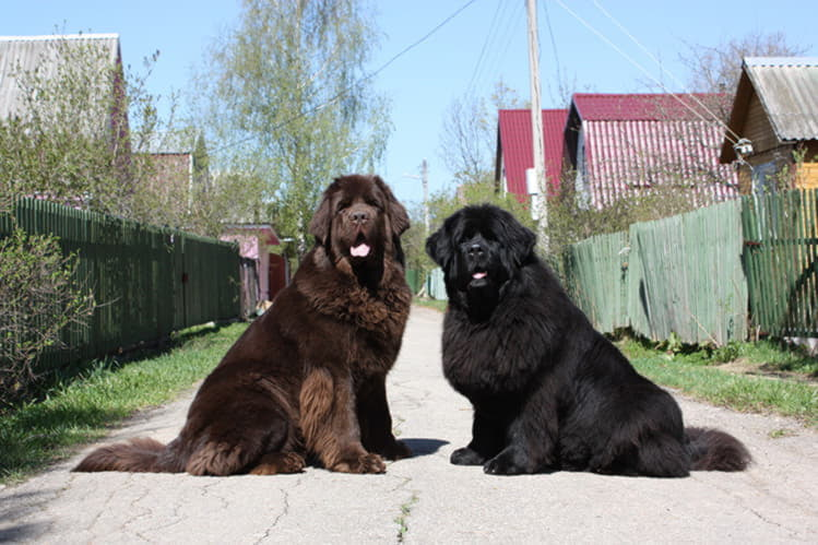 Две собаки породы водолаз