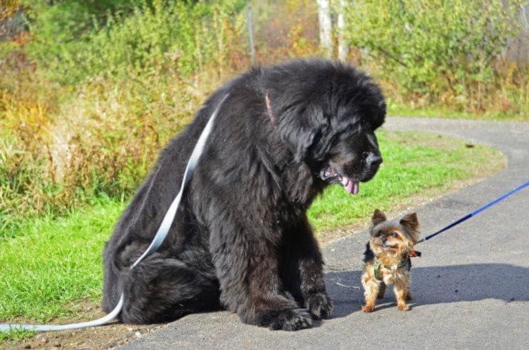 Ньюфаундленд и маленькая собачка