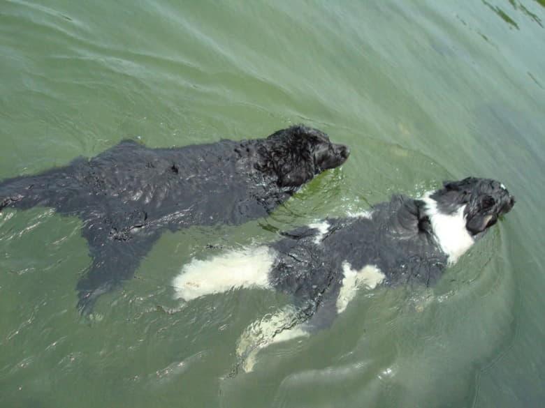 Ньюфаундленды плавцы