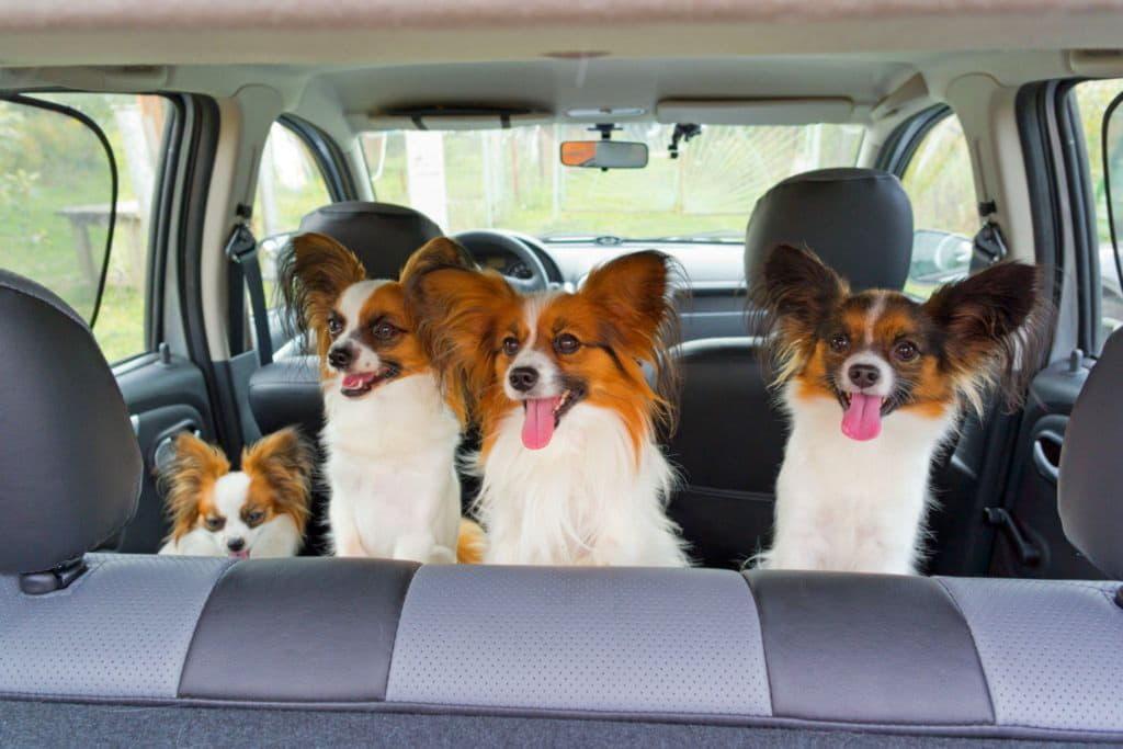Папильоны в машине