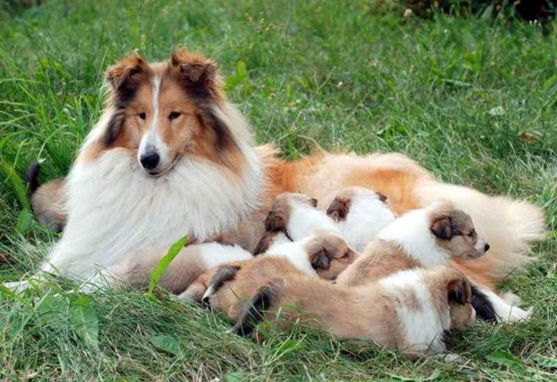 Щенки колли с мамой