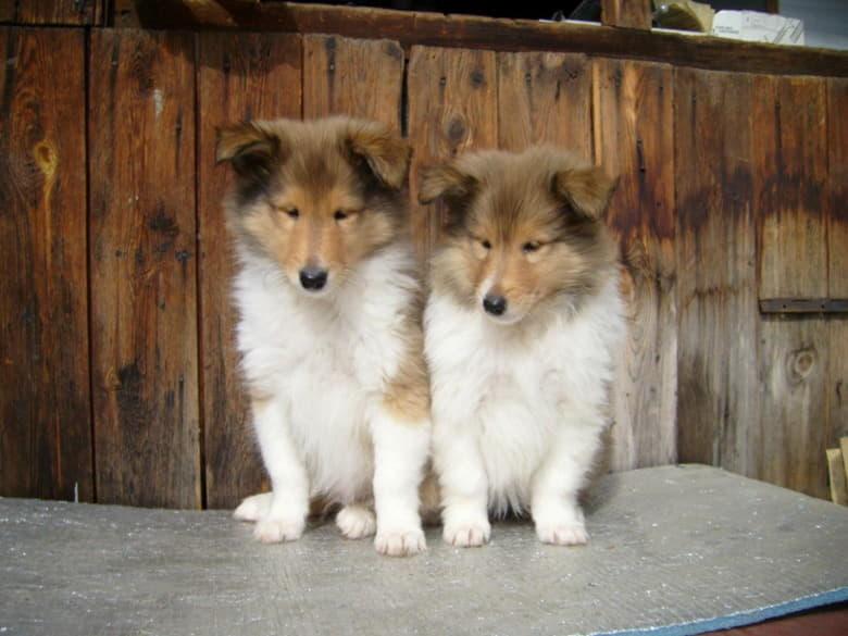 Два щенка колли