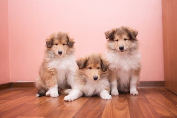 Три щенка колли