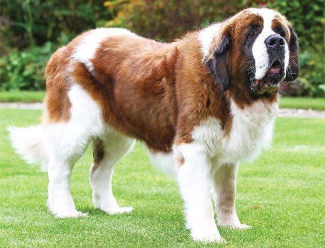 Собака породы сенбернар