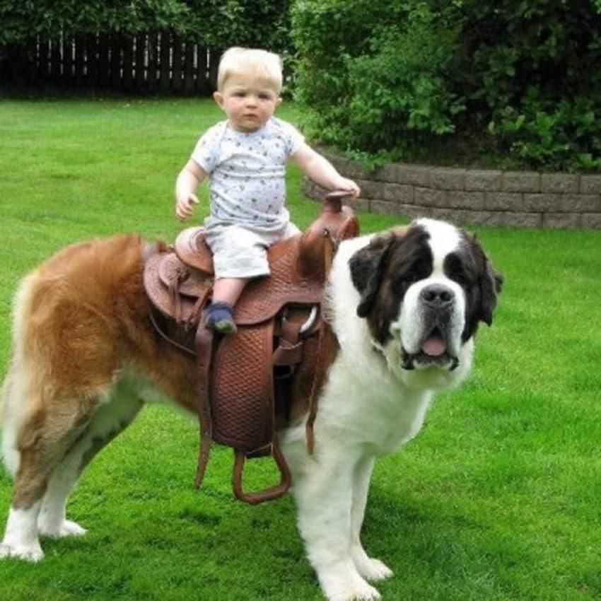 Маленький ребенок на сенбернаре