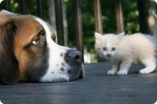 Сенбернар и кошка
