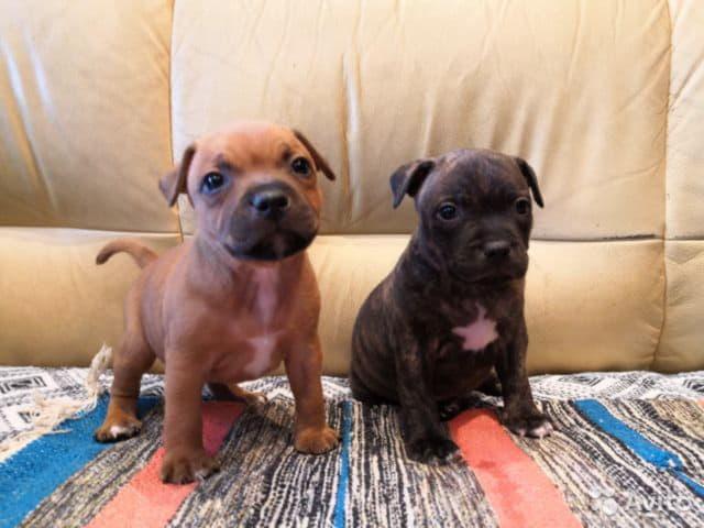 Два щенка породы стаффордширский бультерьер