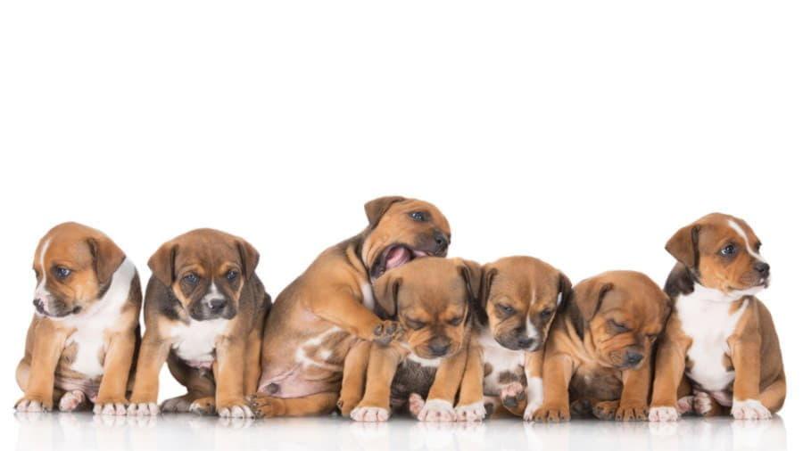 Рыжие щенки породы стаффордширский бультерьер