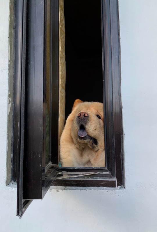 Чау-чау в окне