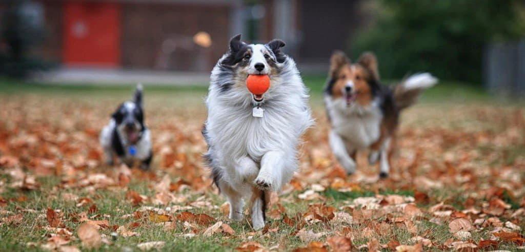 Шелти с мячиком