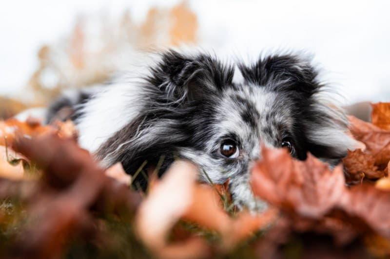 Шелти (Шетландская овчарка)