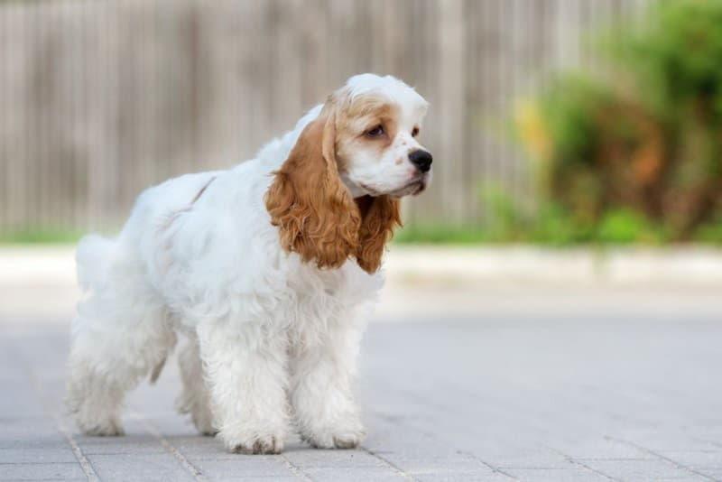Фото собаки породы Американский кокер-спаниель