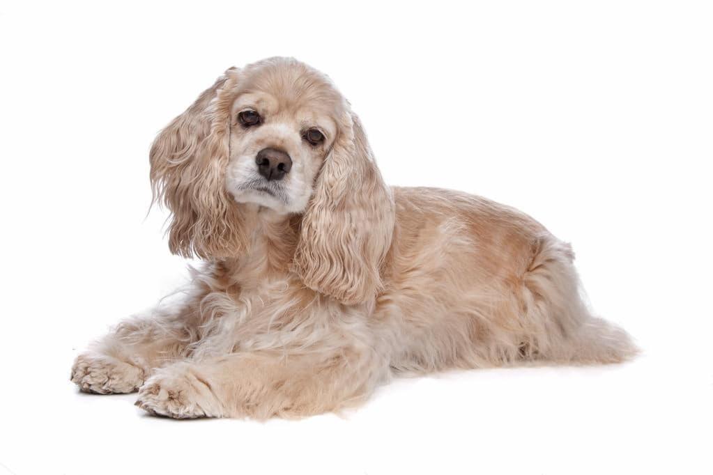 Американский кокер-спаниель пород собаки