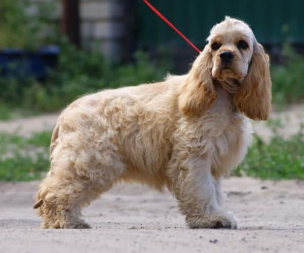 Порода собаки Американский кокер-спаниель