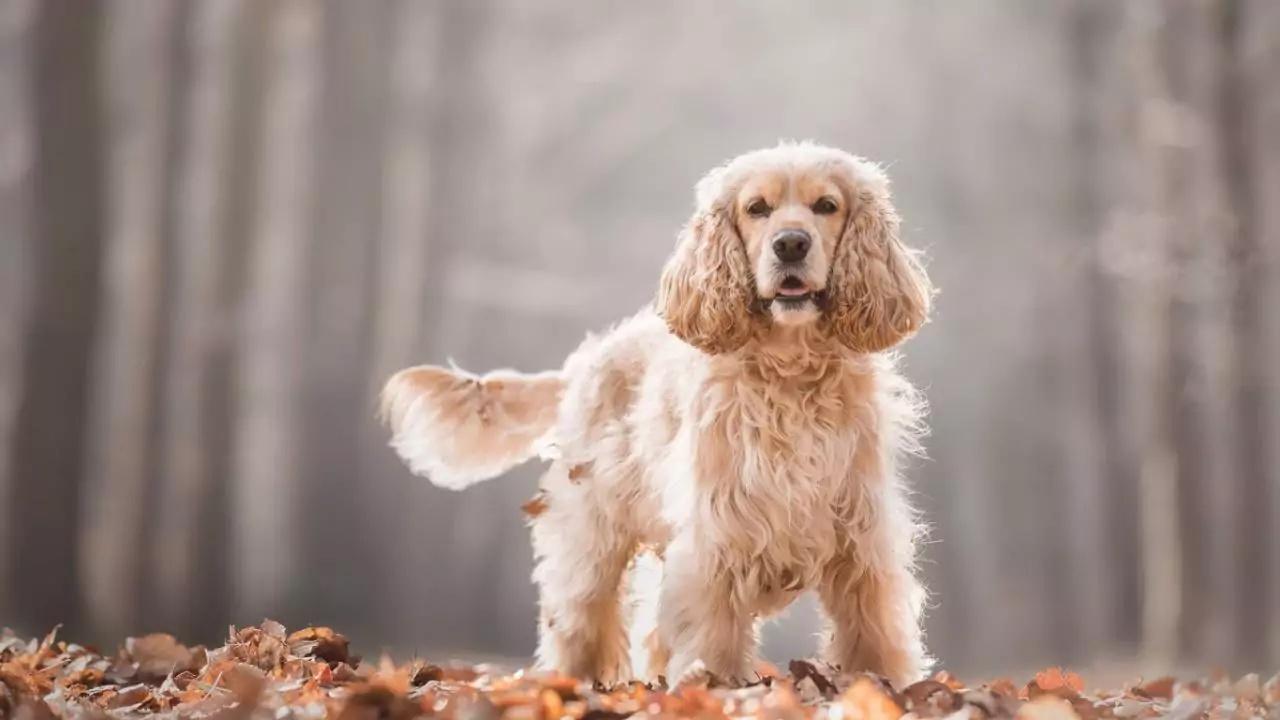 Внешний вид породы собаки Американский кокер-спаниель