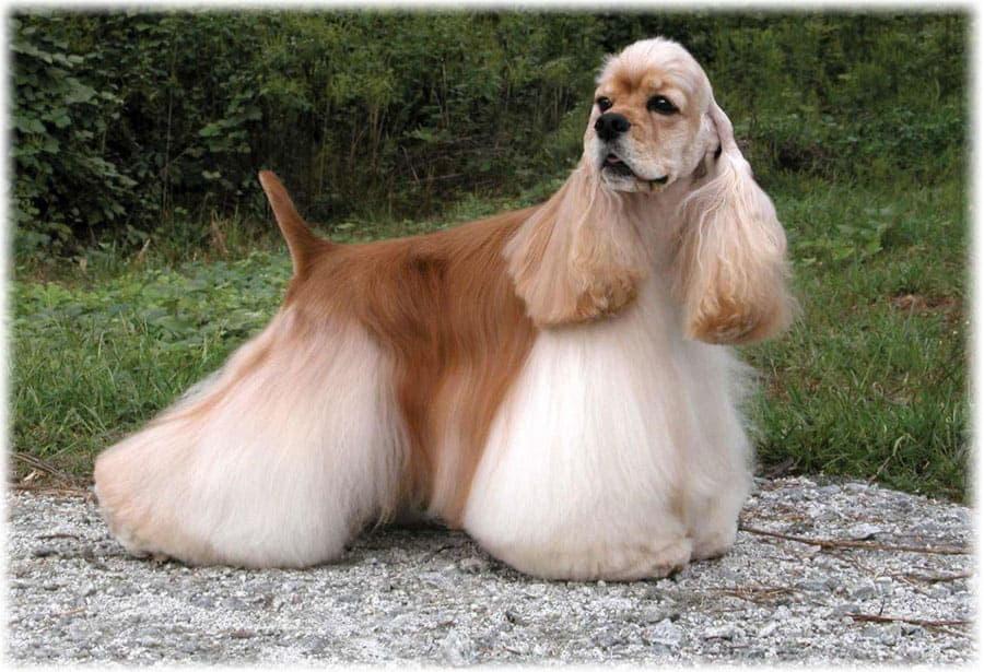 Стрижка собаки породы Американский кокер-спаниель