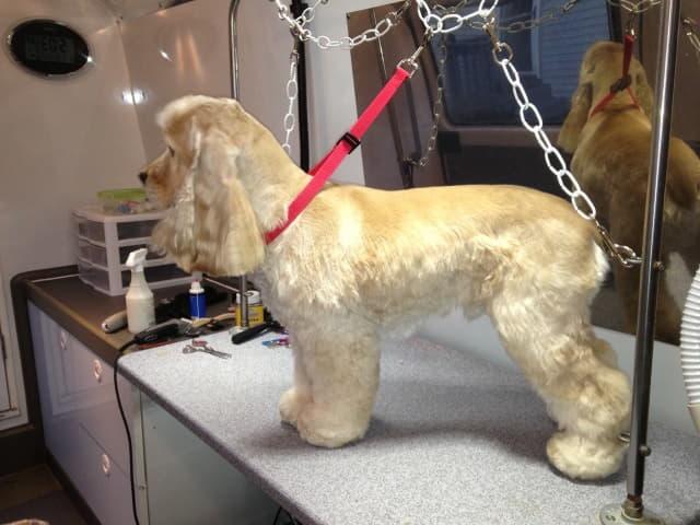 Груминг породы собак Американский кокер-спаниель