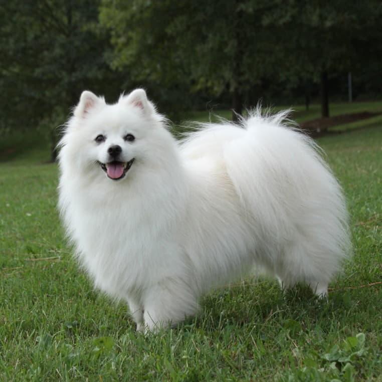 Внешний вид Американской эскимосской собаки