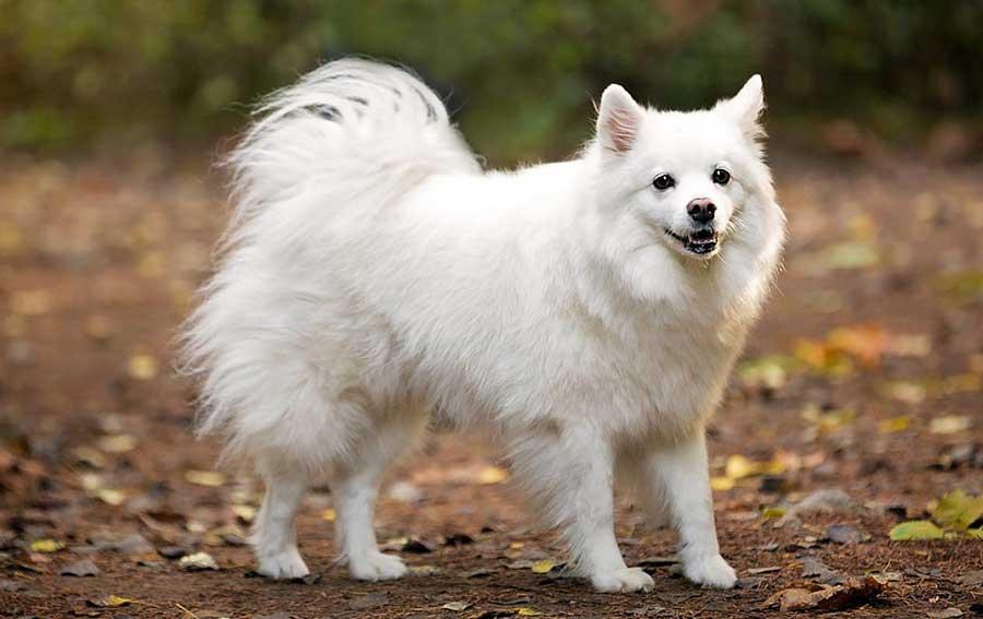 Порода собаки Американская эскимосская собака
