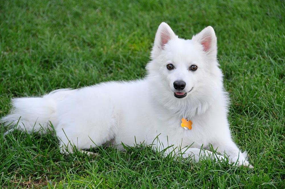 Американская эскимосская собака лежит на траве