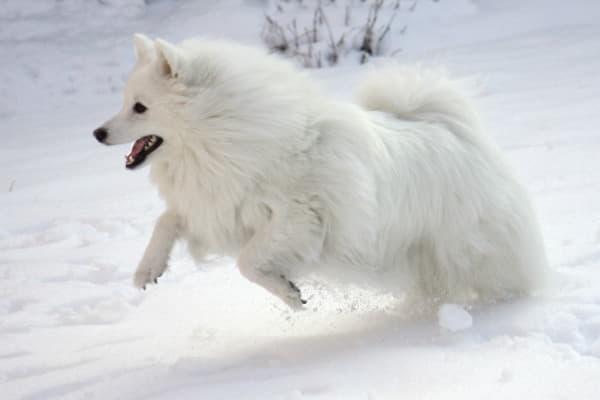 Американская эскимосская собака на снегу