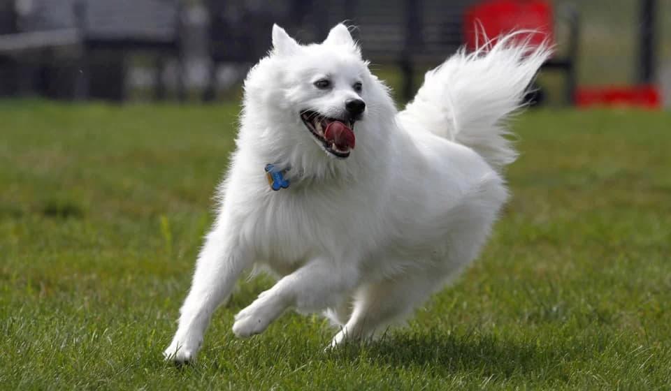 Бег Американской эскимосской собаки