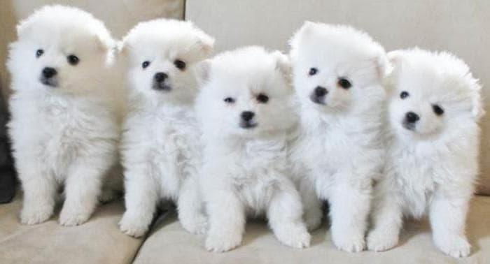 Щенки породы Американская эскимосская собака