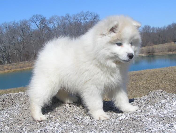 Щенок Американская эскимосская собака