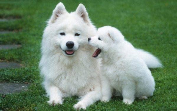 Щенок породы Американская эскимосская собака рядом с мамой