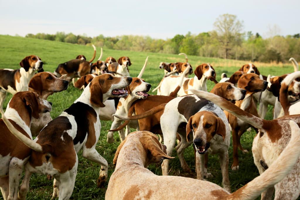 Собаки породы Американский фоксхаунд
