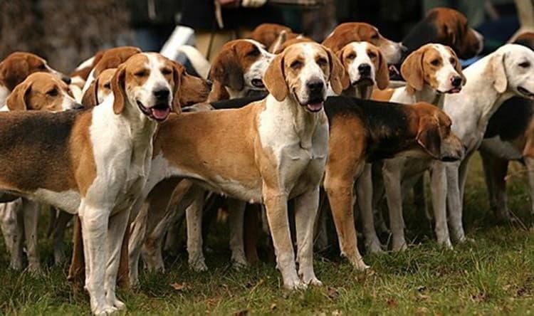Фотография собак породы Американский фоксхаунд