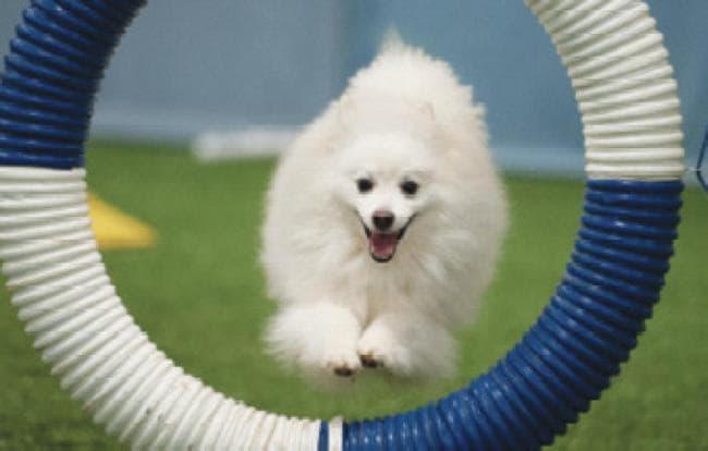 Американская эскимосская собака участвует в аджилити