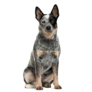 Австралийская пастушья собака (голубой хилер)