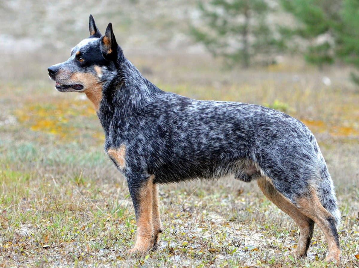 Порода австралийская пастушья собака