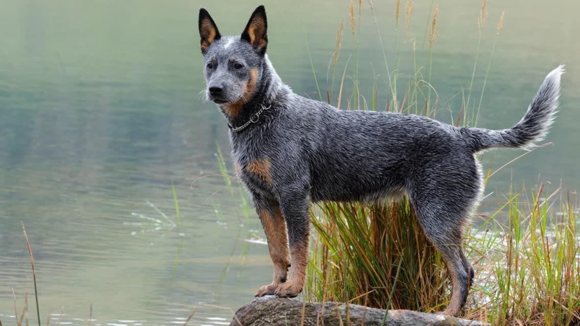 Порода собак - хилер